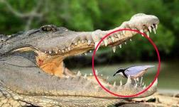 Khi con chim tăm xỉa răng cá sấu, tại sao cá sấu không ăn nó?