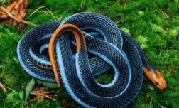 """Là một trong những loài rắn độc nhất thế giới, tại sao rắn 'san hô xanh"""" lại có thể thống trị thế giới loài rắn?"""