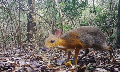 Cheo cheo lưng bạc nghi tuyệt chủng cách đây 30 năm bất ngờ xuất hiện ở Việt Nam