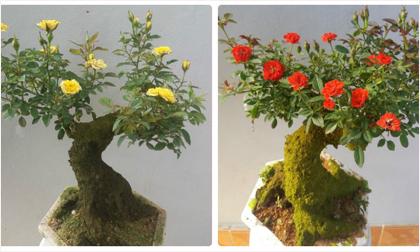 Chiêu hô biến hoa hồng thường thành hồng cổ 'hốt bạc triệu' cây cảnh dịp Tết