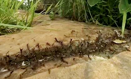 Thảm kịch nào xảy đến với một con trăn khổng lồ khi vô tình gặp hàng triệu con kiến diễu dành trên đường?