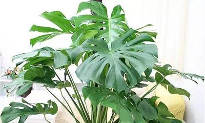 Có một người hút thuốc ở nhà, 7 loại cây sẽ giúp hấp thụ khí độc hiệu quả
