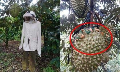 Chủ vườn sâu riêng nghĩ ra cách bảo vệ thành quả khiến trộm có mò vào cũng 'chạy mất dép'