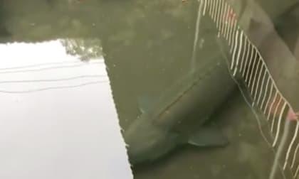 Cá siêu khủng dài cả mét tung tăng bơi lội dưới mương của một công trình bỏ hoang