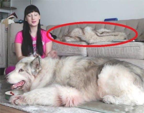 Người phụ nữ có một con chó to hơn con người. Bạn có thể giải thích chiếc áo khoác lông chó trên ghế sofa không?