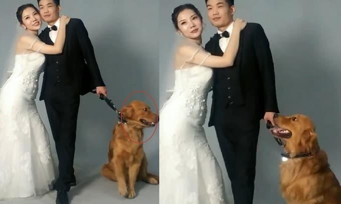 Chú chó tỏ thái độ bất hợp tác khi được chủ đưa đi chụp ảnh cưới cùng, nguyên nhân vừa xót vừa buồn cười