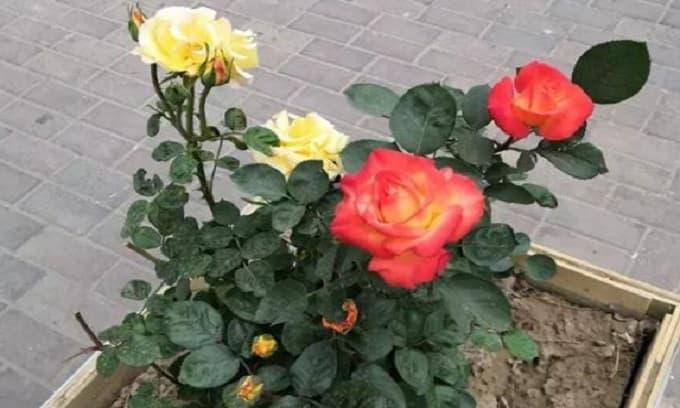 Làm sao để giữ cho hoa hồng luôn phát triển tốt? 'Đất hỗn hợp' chính là chìa khóa