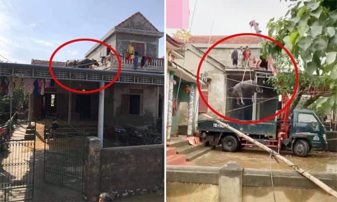 Tình hình 2 chú trâu trên mái nhà sau lũ: Đã được đưa xuống nhờ pha giải cứu hết sức 'cồng kềnh'
