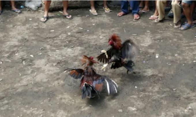Bi kịch! Một cảnh sát ở Philippines bị một con gà trống giết trong một cuộc truy quét