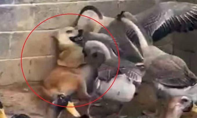 Chú chó đi lạc vào chuồng ngỗng, và cuộc chiến sau đó khiến người chủ nhìn thấy chỉ biết 'cười nghặt nghẽo'