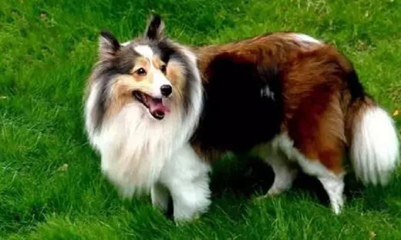 Bảng xếp hạng 10 loài chó trung thành nhất thế giới
