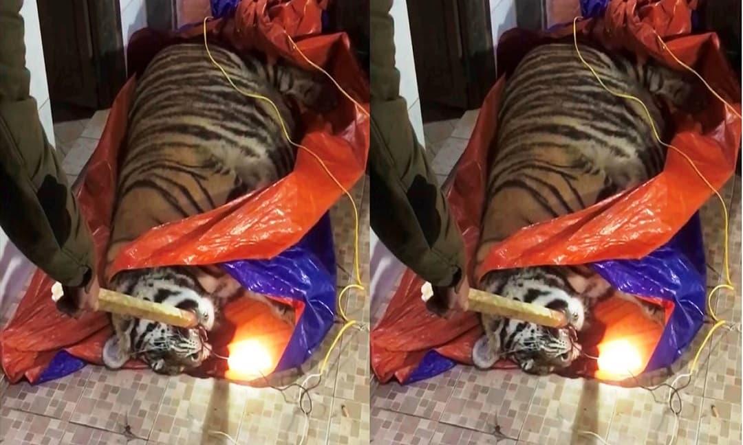 Tịch thu con hổ nặng 2,5 tạ nằm giữa sân nhà dân để chờ nấu cao