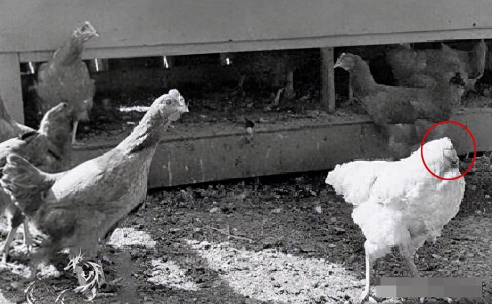 Tại sao con gà trống không đầu Mike có thể sống sót?