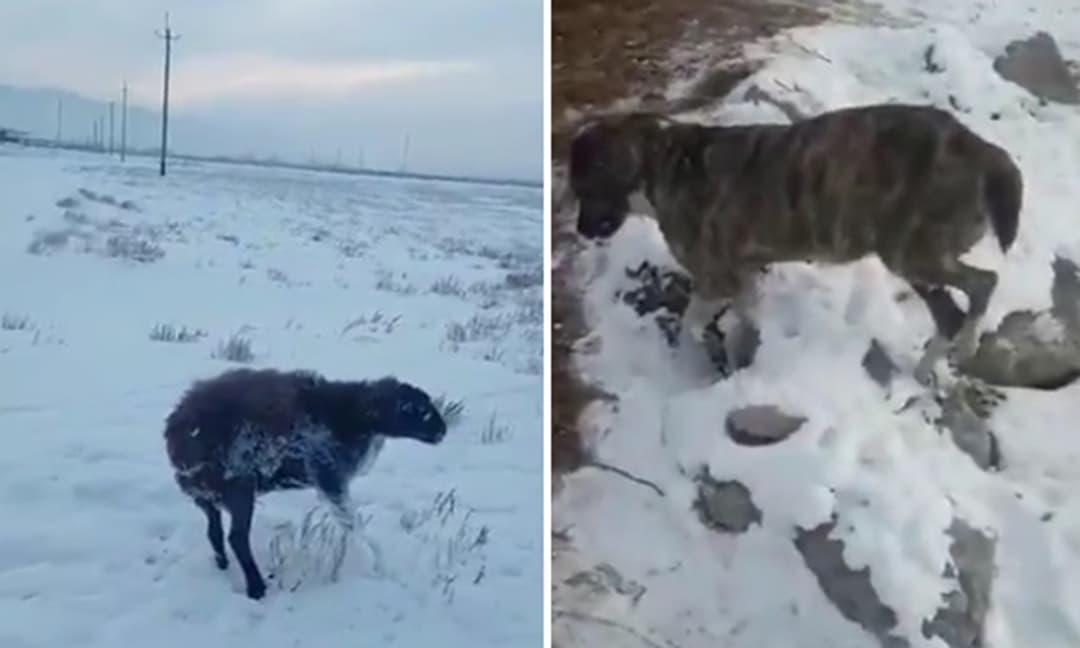 Rùng mình trước sự khắc nghiệt của mùa đông, lạnh đến mức chó và cừu đang đi bị đóng băng chết cóng