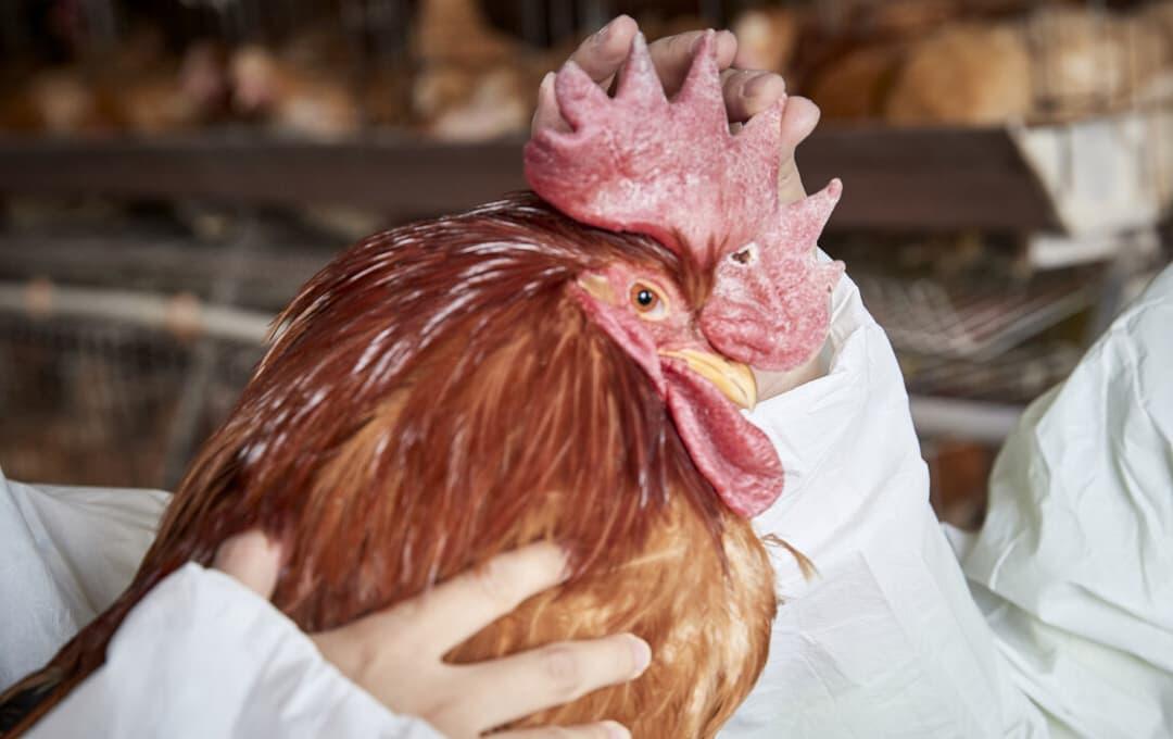 Khi mua gà sống, làm thế nào để phân biệt giữa 'gà non' và 'gà già'? Hướng dẫn bạn 4 thủ thuật, đừng để bị lừa nữa
