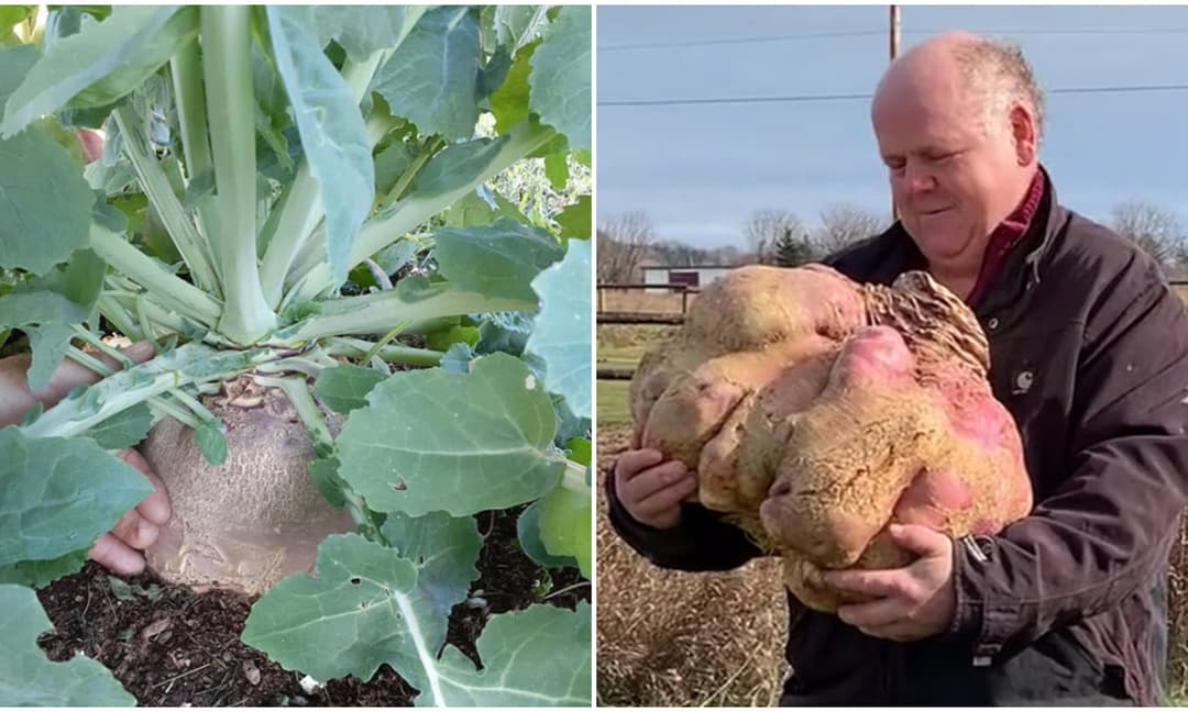 Củ cải 'khổng lồ' nặng nhất thế giới với trọng lượng 29 kg