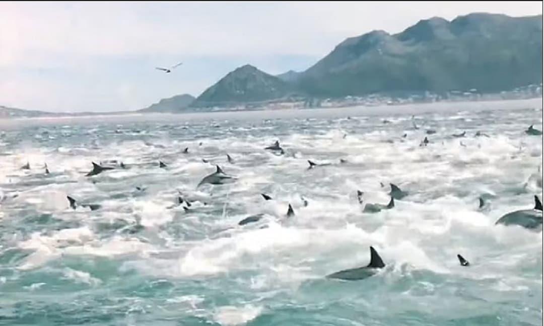 Cảnh tượng hiếm gặp: 2.000 con cá heo phối hợp săn mồi gây náo loạn một vùng biển