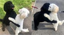 Hai chú chó giống nhau ở Anh tình cờ nhận ra nhau sau 10 tháng và lập tức có hành động 'sững sờ'