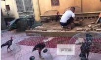Vì đam mê, chồng thuê một khu nhà trọ cho gà ở khiến vợ sốc nặng