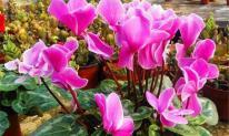4 loại hoa không phun nước vào lá, nếu có nước đọng trên lá sẽ dễ bị vàng lá và thối lá