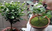 Kỹ thuật cắt tỉa, chăm sóc hoa nhài để cây phát triển tốt, một năm có thể nở 5 lần