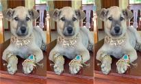 Chú chó đại gia được 'sen' trang bị đồ để đón Tết 'siêu ngầu', cả người toát lên vẻ quý tộc