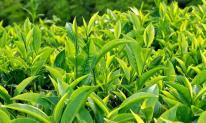 Trà xanh và những lợi ích không ngờ đối với sức khỏe