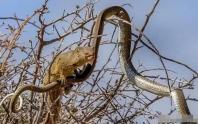 Con rắn độc lên cây ăn trứng chim mà không để ý đến phía sau, đến lúc phản ứng thì đã quá muộn