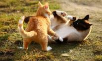 Tại sao mèo cái thường tấn công mèo đực sau khi giao phối? Một số con mèo đực thậm chí còn bị 'ám ảnh tâm lý'