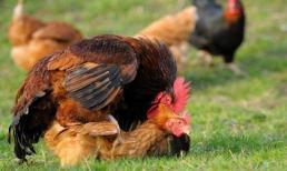 Bộ phận sinh dục gần như biến mất, gà trống giao phối bằng cách nào?