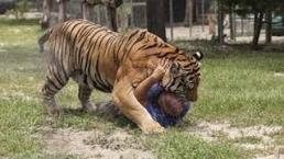 Kiểm lâm Ấn Độ bị hổ ăn thịt khi vào rừng tuần tra