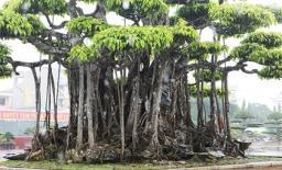 Cận cảnh 'siêu cây' được khách Nhật định giá 460 tỷ ở Thanh Hoá