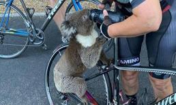 Úc nóng kỷ lục như 'tận thế': Gấu koala tuyệt vọng chặn người đi xe đạp xin nước uống