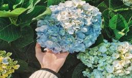 Một số loại hoa có độc cần lưu ý khi mua trưng dịp Tết, đặc biệt tránh xa tầm tay trẻ em