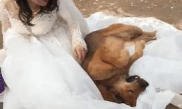 Chạy 3km theo cô chủ về nhà chồng, chó cưng nằm 'ăn vạ' trên váy cưới nhất quyết không rời