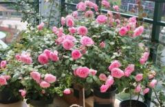 Đừng dùng 'nước từ vòi' để tưới hoa? Tất cả các bậc thầy trồng hoa sử dụng 5 loại nước này