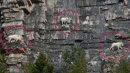 Sống và kiếm ăn trên những vách núi đá dốc thẳng, tại sao dê Rocky vẫn tồn tại?