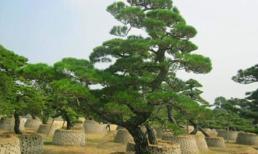 Người xưa thường nói rằng 'năm cây không trồng ở nhà, tránh gia đình nghèo đi và li tán'! Vậy năm cây đó là cây gì?
