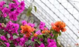 Hoa giấy nở vào tháng 8! Mách bạn '3 mẹo', hoa nở rộ gấp đôi