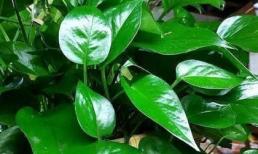 3 loại hoa thích 'uống' bia, nửa tháng một ly, lá có độ mỡ và sáng bóng