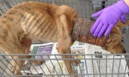 Chú chó bị mắc kẹt trong chiếc lon sắt nhiều năm, khi bác sĩ lấy ra đã không kìm được nước mắt vì vết thương