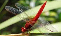 Đã từng có những con chuồn chuồn bay thấp vào những ngày mưa, tại sao bây giờ chúng hiếm?