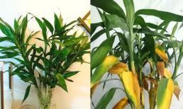Trồng trúc Phú Quý giúp phát tài phát lộc, nhưng có 4 sai lầm khi trồng khiến cây nhanh chết cần chú ý