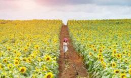 Ngỡ ngàng vẻ đẹp của cánh đồng hoa hướng dương lớn nhất Việt Nam đang bắt đầu nở rộ
