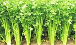 Cứ mười người thì có 9 người bị hôi miệng, ăn loại rau này thường xuyên sẽ hết hôi miệng, ngủ ngon hơn, sớm khỏi bệnh