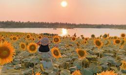 Đẹp 'lịm tim' cánh đồng hoa hướng dương đang nở rộ ngay sát Hà Nội