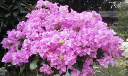 Hoa giấy không nở? Khuyên bạn trồng loại này, hoa có thể nở 3 lần trong năm, vừa dễ trồng vừa nở hoa rực rỡ