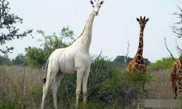 Con hươu cao cổ trắng duy nhất trên thế giới có thể tồn tại được bao lâu?