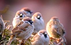 Ở đâu cũng có thể nhìn thấy chim sẻ, nhưng tại sao xác chim sẻ lại khó thấy?