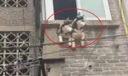 Để ngăn chó cưng phá đồ trong nhà, người chủ nghĩ ra cách có '1-0-2': Đập lỗ trên ban công để chúng thò đầu ra ngoài nhìn đường phố